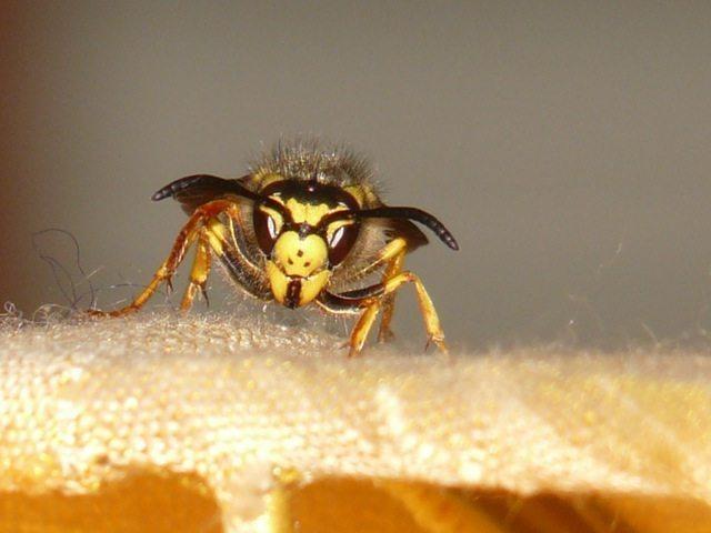 Wat je altijd al wilde weten over wespen..